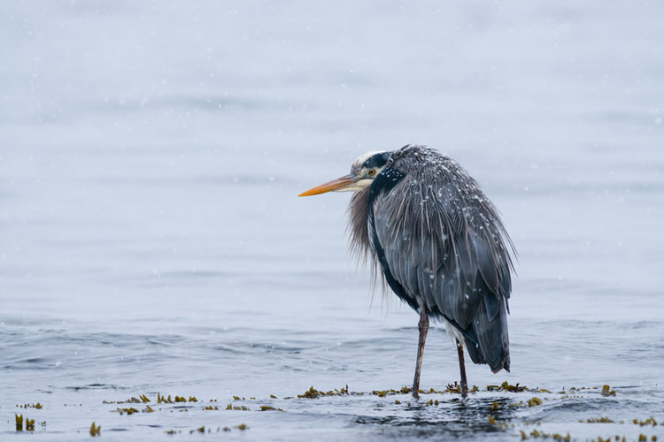 A great blue heron waits in the snow