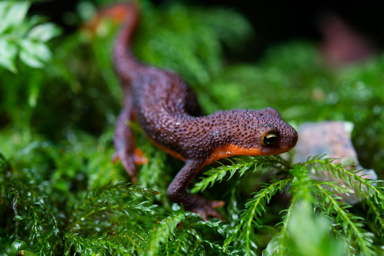 A Rough-skinned newt near Nanoose