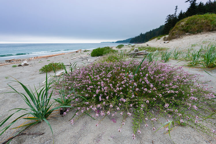Flowers grow in sand above the high tide mark at Experiment Bight.